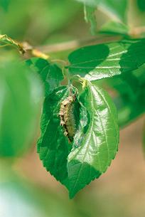オオムラサキ 「座」に静止する4齢幼虫の写真素材 [FYI04041315]