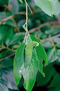 オオムラサキ 葉上に糸を吐いた「座」を動き回る6齢幼虫の写真素材 [FYI04041319]