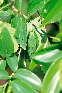 オオムラサキの幼虫 座で休止の写真素材 [FYI04041321]