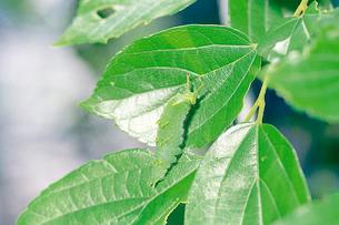 オオムラサキの幼虫 上半身を持ち上げ影を少なくするの写真素材 [FYI04041322]