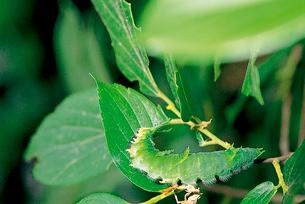 オオムラサキ 終齢幼虫の摂食行動 1枚の葉を食べ終ると葉柄をの写真素材 [FYI04041323]