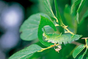 オオムラサキ 終齢幼虫の摂食行動 1枚の葉を食べ終ると葉柄をの写真素材 [FYI04041324]