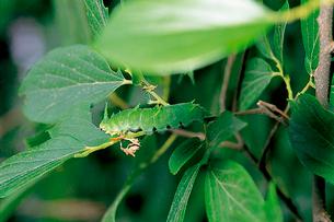 オオムラサキ 終齢幼虫の摂食行動 1枚の葉を食べ終ると葉柄をの写真素材 [FYI04041327]
