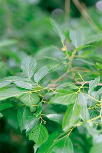 オオムラサキ 終齢幼虫の摂食行動 1枚の葉を食べ終ると葉柄をの写真素材 [FYI04041331]