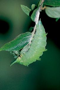 オオムラサキ 体節は縮まり透明感を帯びるの写真素材 [FYI04041333]