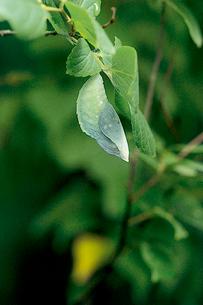 オオムラサキ 色も形も葉と同化したような蛹の写真素材 [FYI04041336]