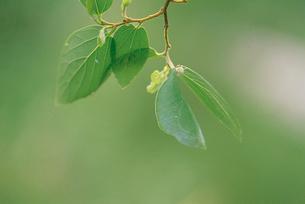 オオムラサキ 色も形も葉と同化したような蛹の写真素材 [FYI04041337]