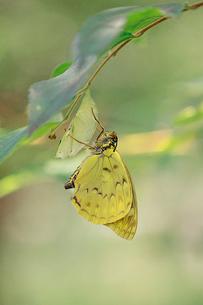 オオムラサキ 8月下旬に羽化したオス 斑紋に異常がみられるの写真素材 [FYI04041348]