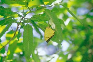 オオムラサキ エノキに隣接したクヌギ葉裏の蛹と羽化したメスの写真素材 [FYI04041354]