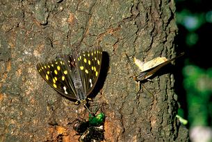 オオムラサキ 腹部を曲げ交尾を迫るオス(右)の写真素材 [FYI04041355]