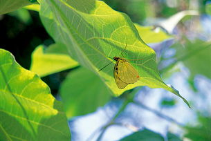 オオムラサキ 昼下がり、葉裏に休むの写真素材 [FYI04041359]