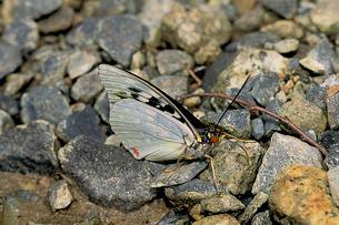 オオムラサキ 地上で吸水する新鮮なオスの写真素材 [FYI04041360]