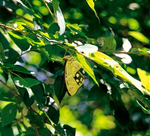 オオムラサキ 野鳥に食い切られたような後翅の写真素材 [FYI04041365]