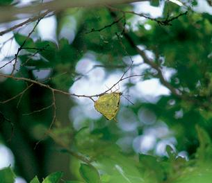オオムラサキ エノキの枯れ枝への産卵の写真素材 [FYI04041366]