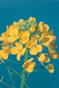アブラナの花の写真素材 [FYI04041368]