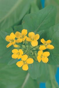 アブラナの花の写真素材 [FYI04041369]