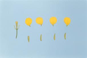 アブラナの花分解の写真素材 [FYI04041376]