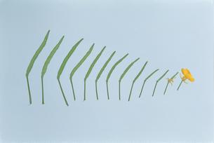 アブラナ:花からタネまでの写真素材 [FYI04041379]
