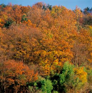晩秋の雑木林(オオムラサキの生息地)の写真素材 [FYI04041388]