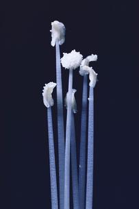 アサガオの開花後のおしべとめしべの写真素材 [FYI04041393]