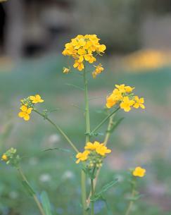 アブラナの花の写真素材 [FYI04041420]