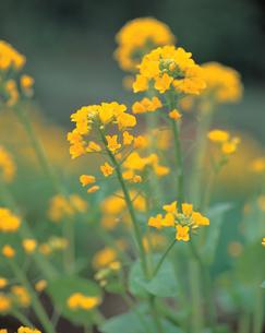 アブラナの花の写真素材 [FYI04041421]