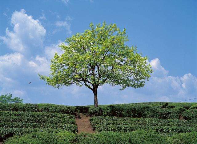 新緑のカキの木の写真素材 [FYI04041445]