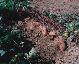 土から掘り出したサツマイモの写真素材 [FYI04041449]