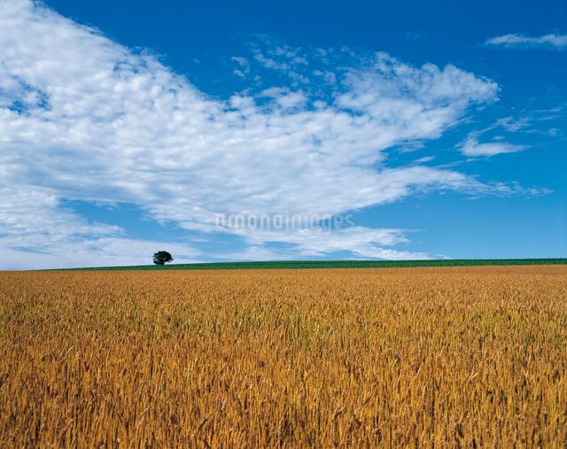 麦畑(夏・麦秋)の写真素材 [FYI04041452]