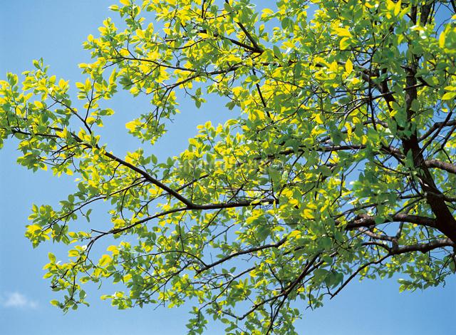 カキの木の新緑の写真素材 [FYI04041453]