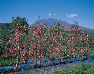 リンゴ'陸奥'畑と岩木山の写真素材 [FYI04041472]