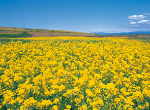ナノハナ(菜の花)畑の写真素材 [FYI04041476]