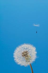 飛び立つセイヨウタンポポの綿毛(タネ)の写真素材 [FYI04041834]