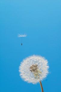 飛び立つセイヨウタンポポの綿毛(タネ)の写真素材 [FYI04041835]