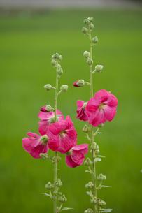 タチアオイの花の写真素材 [FYI04042610]