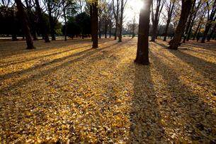 地面を埋め尽くすイチョウの黄葉の写真素材 [FYI04042708]