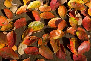 カキノキの落ち葉の写真素材 [FYI04042752]