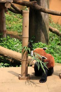 レッサーパンダ ササの葉を食べるの写真素材 [FYI04043132]