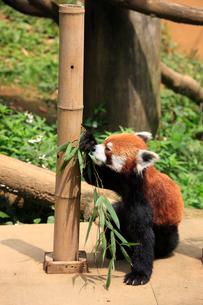 レッサーパンダ ササの葉を食べるの写真素材 [FYI04043133]