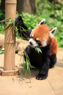 レッサーパンダ ササの葉を食べるの写真素材 [FYI04043134]