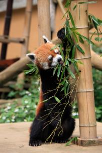 レッサーパンダ ササの葉を食べるの写真素材 [FYI04043135]