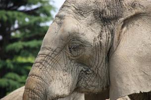 アフリカゾウ 目とまつげの写真素材 [FYI04043269]