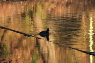オオバン 黄金色の池を泳ぐの写真素材 [FYI04043694]