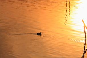 茜色に染まる沼 ねぐらに帰るオオバン 冬の印旛沼の夕照の写真素材 [FYI04043816]