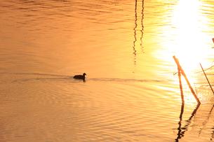 茜色に染まる沼 ねぐらに帰るオオバン 冬の印旛沼の夕照の写真素材 [FYI04043820]