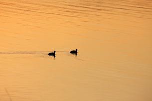 茜色に染まる沼 ねぐらに帰るオオバン 冬の印旛沼の夕照の写真素材 [FYI04043821]