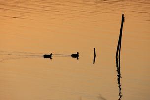 茜色に染まる沼 ねぐらに帰るオオバン 冬の印旛沼の夕照の写真素材 [FYI04043822]