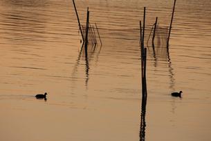 茜色に染まる沼 ねぐらに帰るオオバン 冬の印旛沼の夕照の写真素材 [FYI04043823]