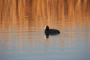 オオバン 印旛沼調整池 黄金色の池を泳ぐの写真素材 [FYI04043837]