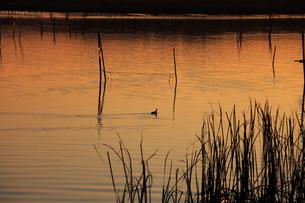 茜色に染まる沼 ねぐらに帰るオオバン 冬の印旛沼の夕照の写真素材 [FYI04043918]